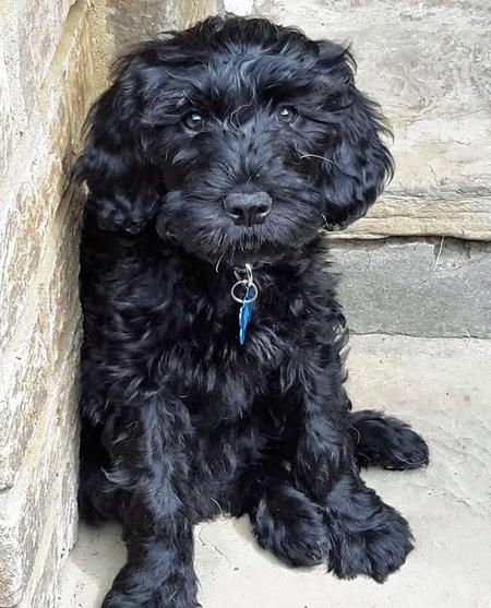 Woody The Portuguese Water Dog I M Falling In Love Again