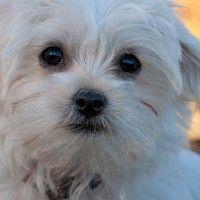 #dogalize Come educare un cane maltese con cordialità e gentilezza #dogs #cats #pets