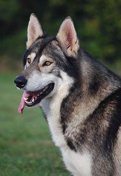 Northern Inuit Dog Wikipedia Races De Chiens Beaux Chiens Chien