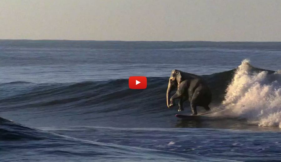 The Surfing Elephant Dumbo Who Surfing Elephant Dogs