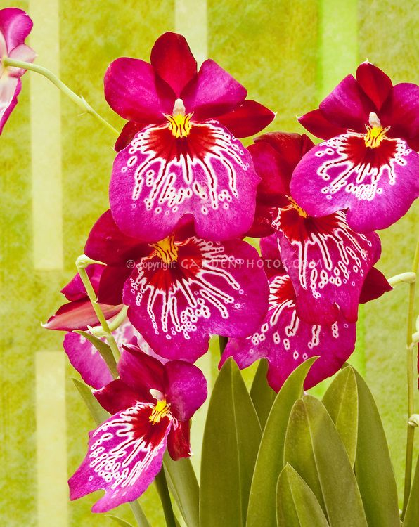 Miltonia Miltoniopsis Waterfall Type Orchid Vivid Pink Flower Stock Photography Orchids Miltonia Orchid