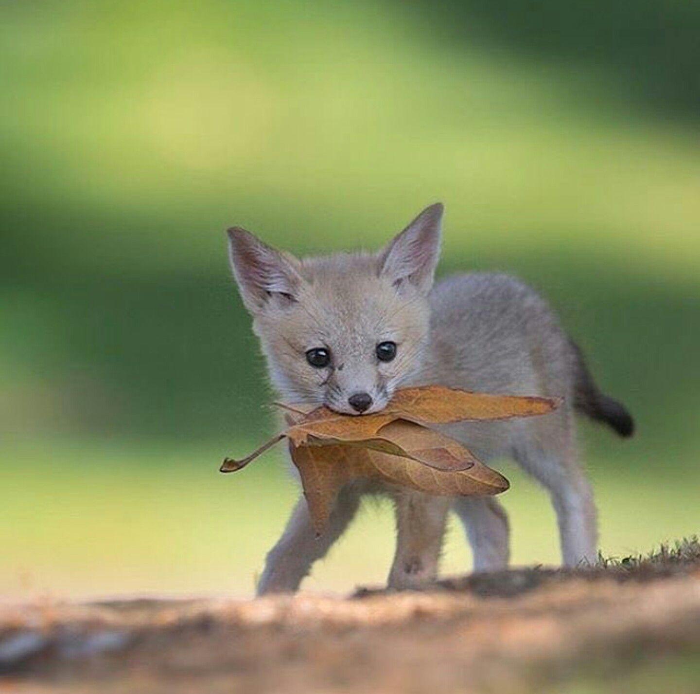 san joaquin kit fox amazingmammalsbigampsmall pinterest