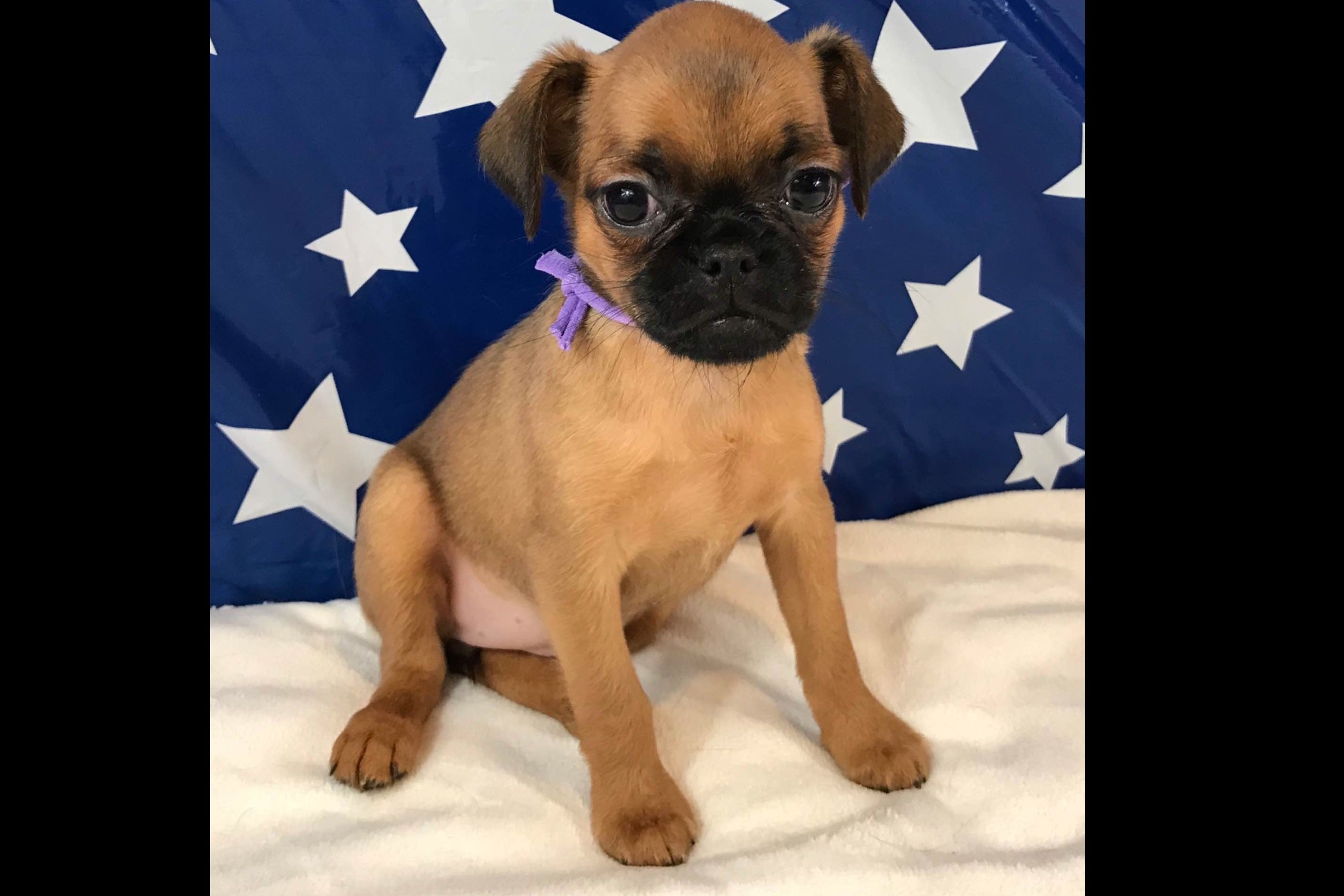 Dee Allen Has Brussels Griffon Puppies For Sale In Ashville Oh On