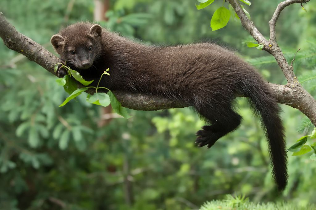 Fisher(Martes pennanti) a small carnivorous mammal native to North America.  It is a member of the mustelid family,… | Fisher animal, Fisher cat, Fisher  cat pictures