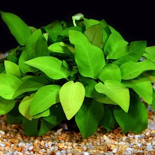 Anubias Nana Gold On Sale Now Aquatic Mag Freshwater Plants Planted Aquarium Fish Plants
