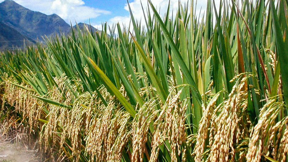 Rice Seeds For Planting Google Search Agriculture Sustainable