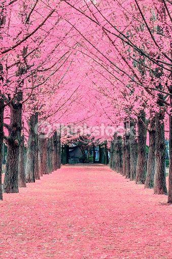 Pink Tree Nami Island In Korea Landscape Photography Pink Trees Tree Photography