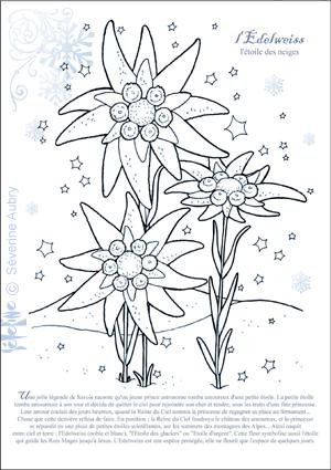 Edelweiss Iles Dessin Fleur Fleurs Et Fleur Edelweiss
