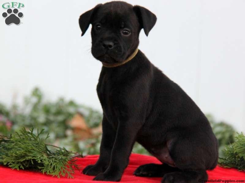 Lady Boxador Puppy For Sale in Pennsylvania Boxador