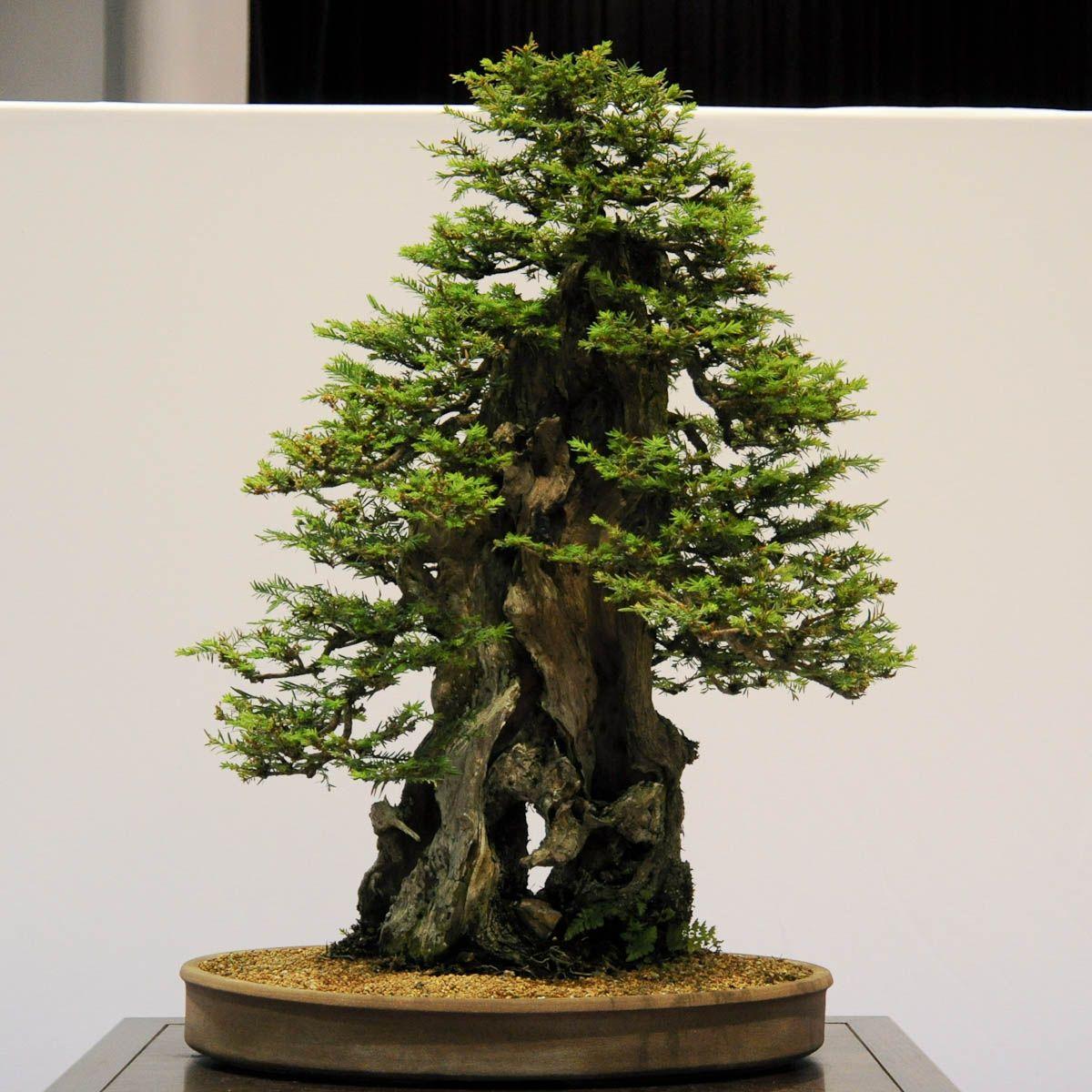 Mendocino Coast Bonsai Bonsai Tree Redwood Bonsai Bonsai Tree Types