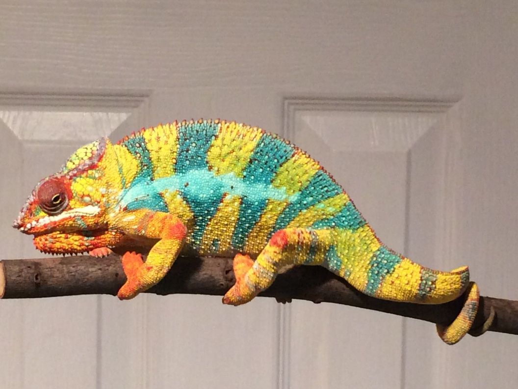 panther chameleon for sale online | Chameleon pet ...