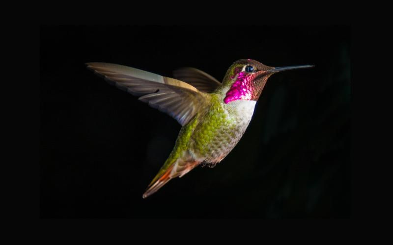Free Hd Wallpapers For Your Computer Hummingbird Flying On A Black Background Hummingbird Wallpaper Bird Wallpaper Hummingbird Pictures Bird hd wallpaper background free