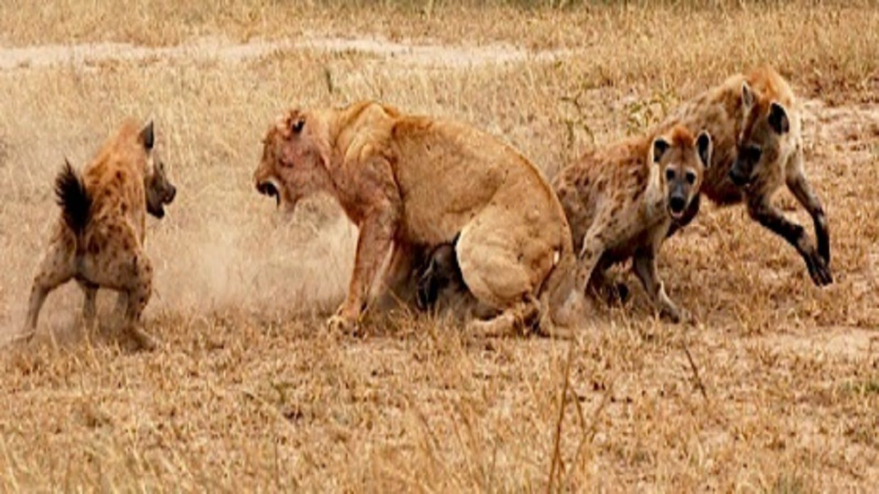Lions Documentary REAL CONFRONTATION Lions vs Hyenas