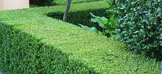 Image result for abelia grandiflora hedging 1 meter