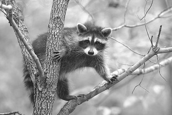 My husband and I are dealing with racoons getting into our ... on raccoon in bedroom, raccoon in bed, raccoon in kitchen, raccoon in attic, raccoon in garage, raccoon in paint, raccoon in space, raccoon in room, raccoon in box, raccoon in office, raccoon in sink, raccoon in building, raccoon in water, raccoon in bathroom, raccoon in log, raccoon home, raccoon in bath, raccoon in wall, raccoon in the floor, raccoon in chair,