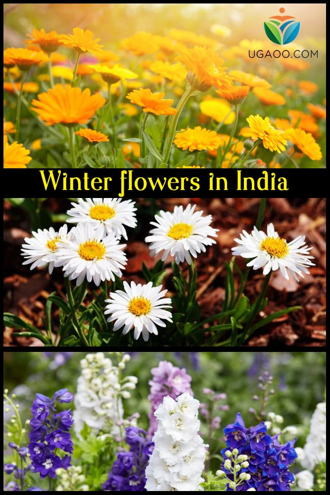 15 Winter Flowers For Indian Gardens Annuals Winter