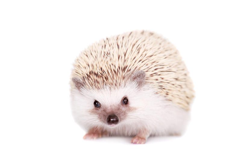 Domesticated Hedgehog Or African Pygmy Isolated On White Background Sponsored African Hedgehog Domesticate Domesticated Hedgehog African Stock Images