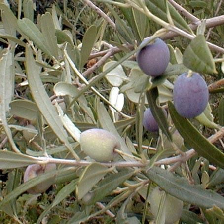 Mission Olive Tree Hardy In Zone 7 And Grow Well In The Central