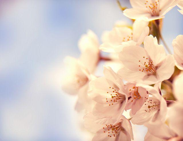 Cherry Blossom Cherry Blossom Images Cherry Blossom Wallpaper Cherry Blossom