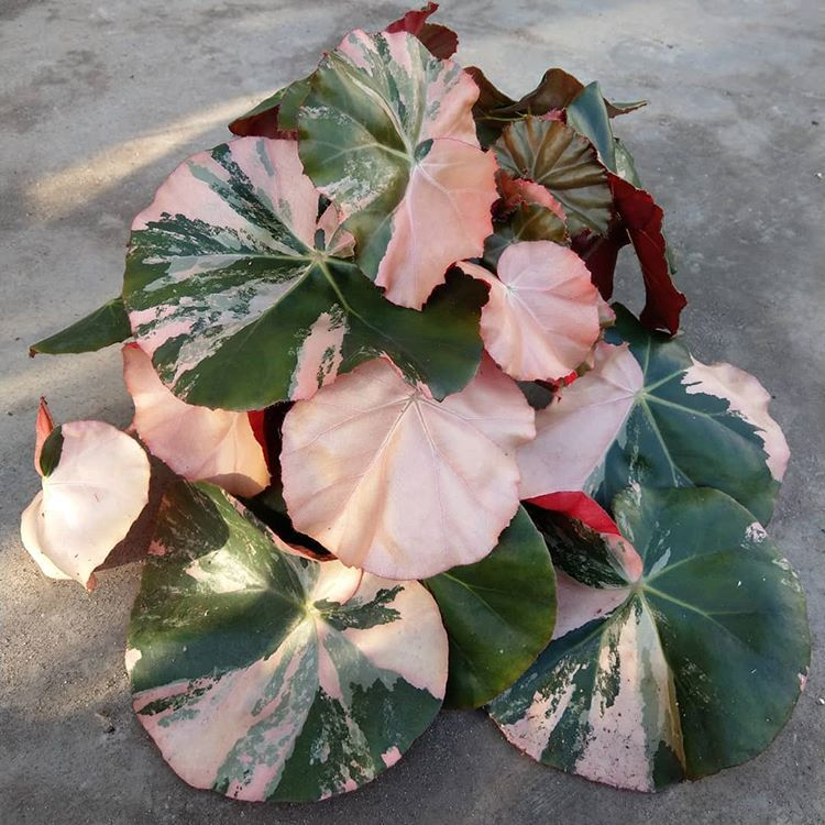 Hofstede Hovaria Sur Instagram Begonia Erythrophylla Pink Princess No No Just Kidding It S Not An Officia Plants Plant Care Houseplant Foliage Plants