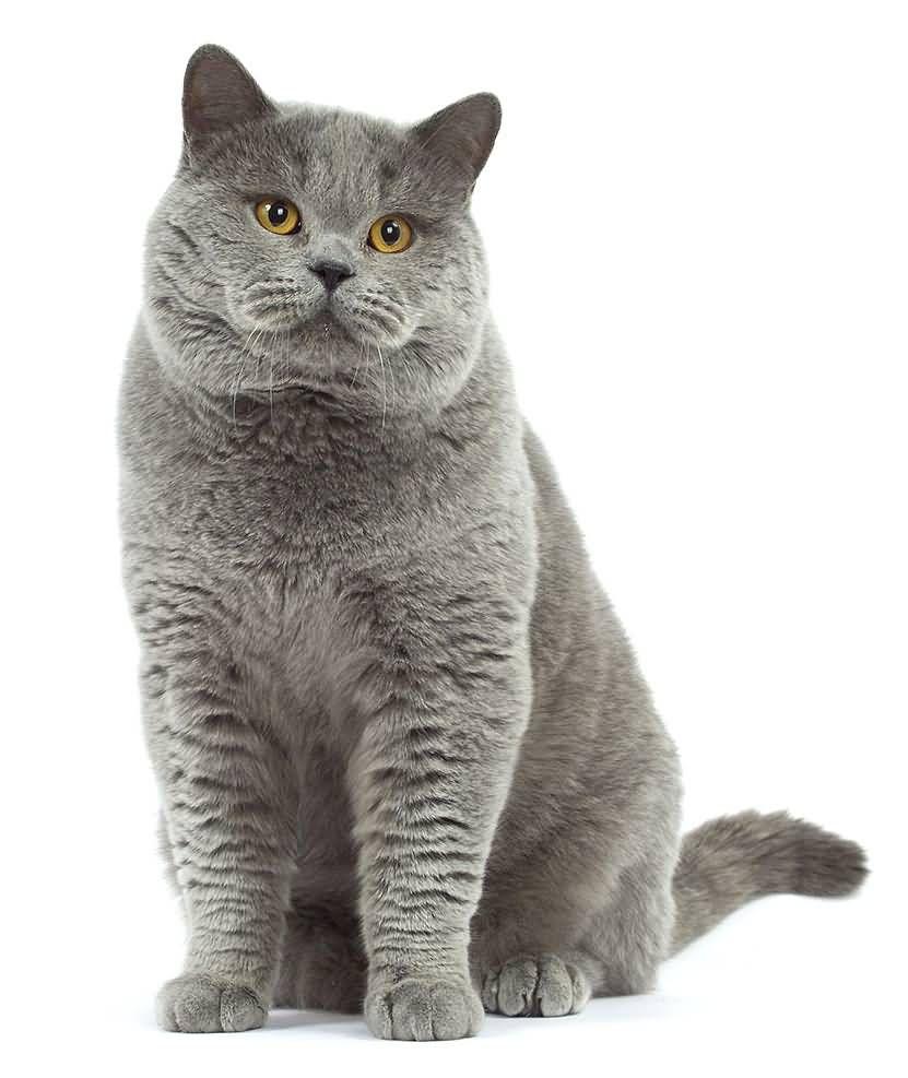 50 Lovely British Shorthair Cat Images Golfian Com British Shorthair Cats Cat Breeds American Shorthair Cat