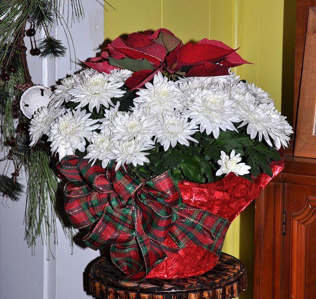 2 plants in one pot !  Mumsettia