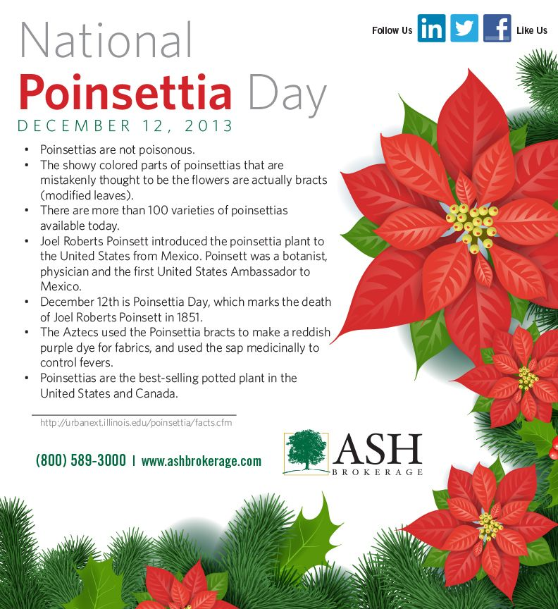 It's Dec 12 and it's National Poinsettia Day! A few fun