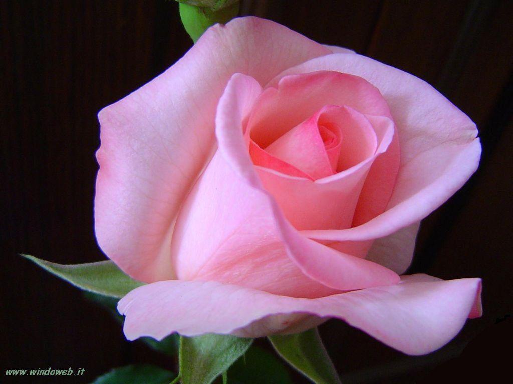 Fiori Meravigliosi.I Fiori Meravigliosi Cerca Con Google Fiori Rosa Immagini