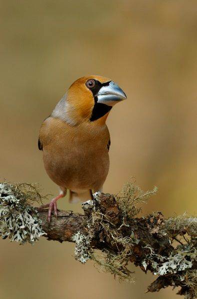 HAWFINCH - Coccothraustes coccothraustes . . . Europe, temperate Asia . . . Photo: Edwin Kats