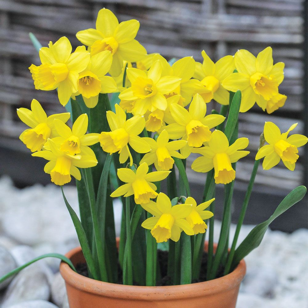 GREAT SPRING COLOUR Daffodil Narcissus Tête à Tête
