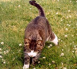 Tabby With White Belly Unconsiderate Brown Tabby She Cat With
