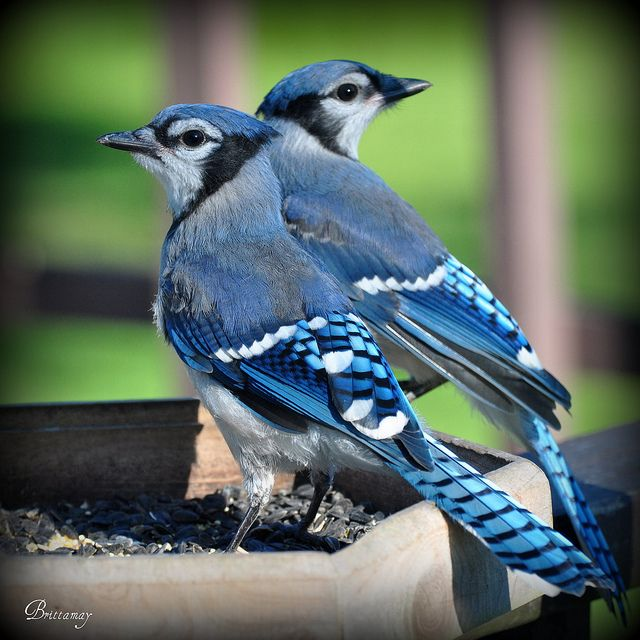 Baby Blue Jays exploring this big ole world