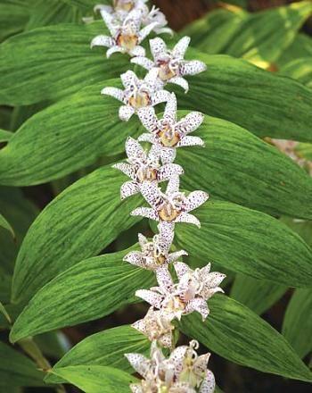 Cyrtomium caryotideum \'Go Fish\' | Garden Plants Shade Lovers ...