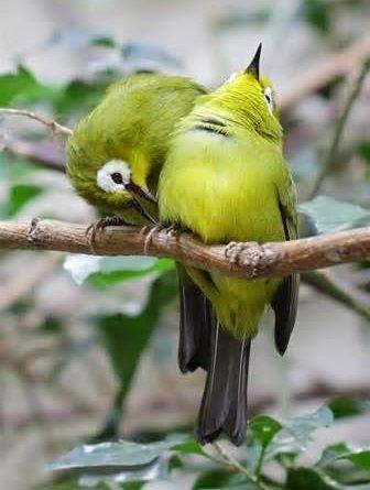 Cara Memilih Pleci Ombyokan Makanan Pleci Suara Pleci Jantan Pleci Jantan Or Betina Cara Membedakan Kenari Jantan Dan Betina Cara Membedaka Burung Jenis Betina