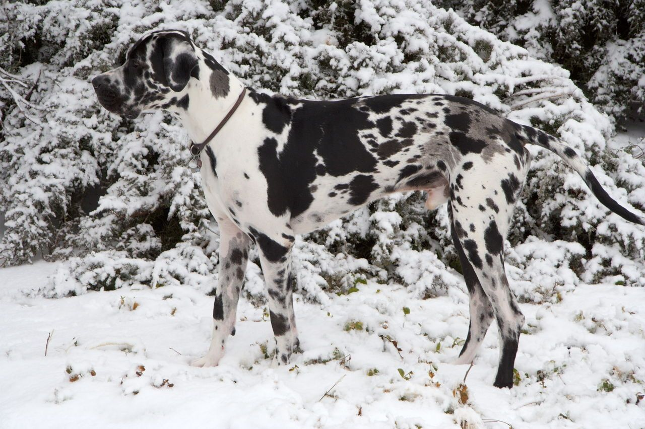 8 Different Great Dane Colors And Patterns With Amazing Pictures