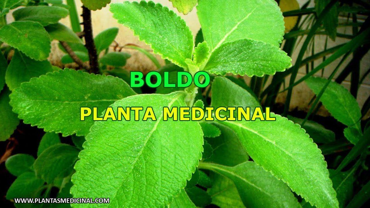 Boldo planta medicinal para que sirve