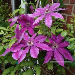 Clematis For Shade 52 Thorncroft Clematis Uk Clematis Clematis Plants Clematis For Shade
