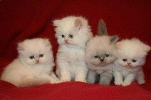 Teacup Siamese Cats For Sale Cute Baby Animals Teacup Cats Teacup Persian Cats Cute Baby Animals