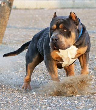 Huge 100 Pound Xxl Large Male Pitbulls Bully Xtreme Bully Breeds Dogs Pitbulls American Bully Pitbull