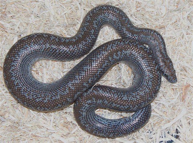 Otay Lake Rosy Boa Curacao Rosy Boa Beautiful Snakes Snakes With Hats