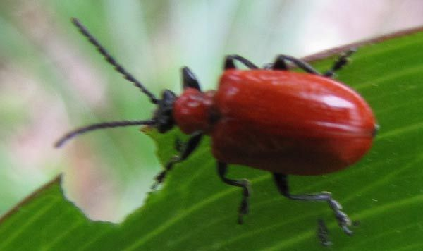 The Red Lily Leaf Beetle is an invasive species which especially attacks Asiatic lilies.