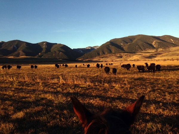 Cattle work seen from between the ears at Eatons' Ranch in Wyoming.