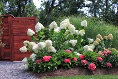 Macrophylla Pink Cityline Paris Bigleaf Hydrangea Red and Green Flowers 1 Gal Live Shrub