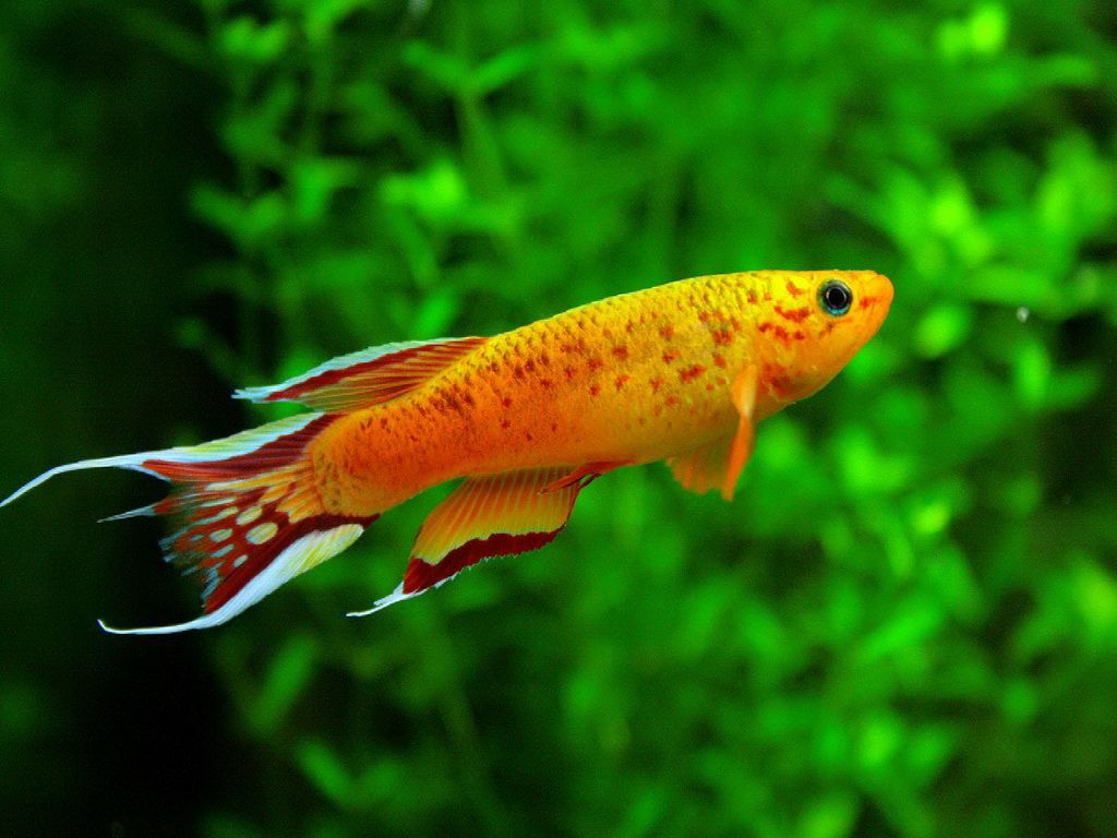 Freshwater aquarium fish by size - Aphyosemion Australe Fresh Water Aquarium Fish