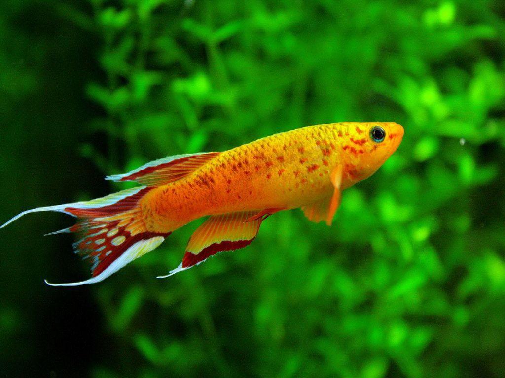 Aphyosemion Australe Tropical Fresh Water Bred This Species Aquarium Fish Aquarium Fish Tank Freshwater Aquarium Fish