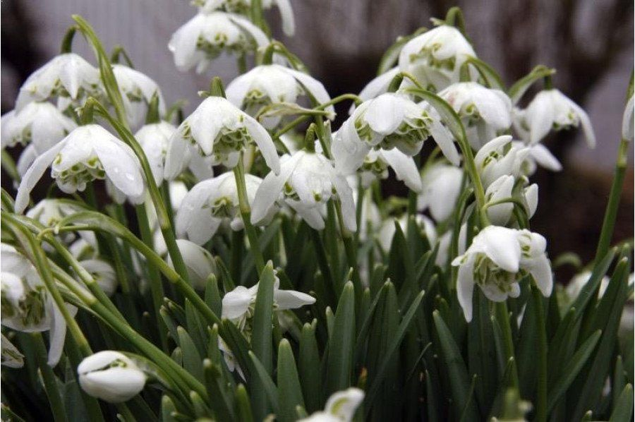 Snowdrop Double Hedging Plants Bulbs For Sale Plants
