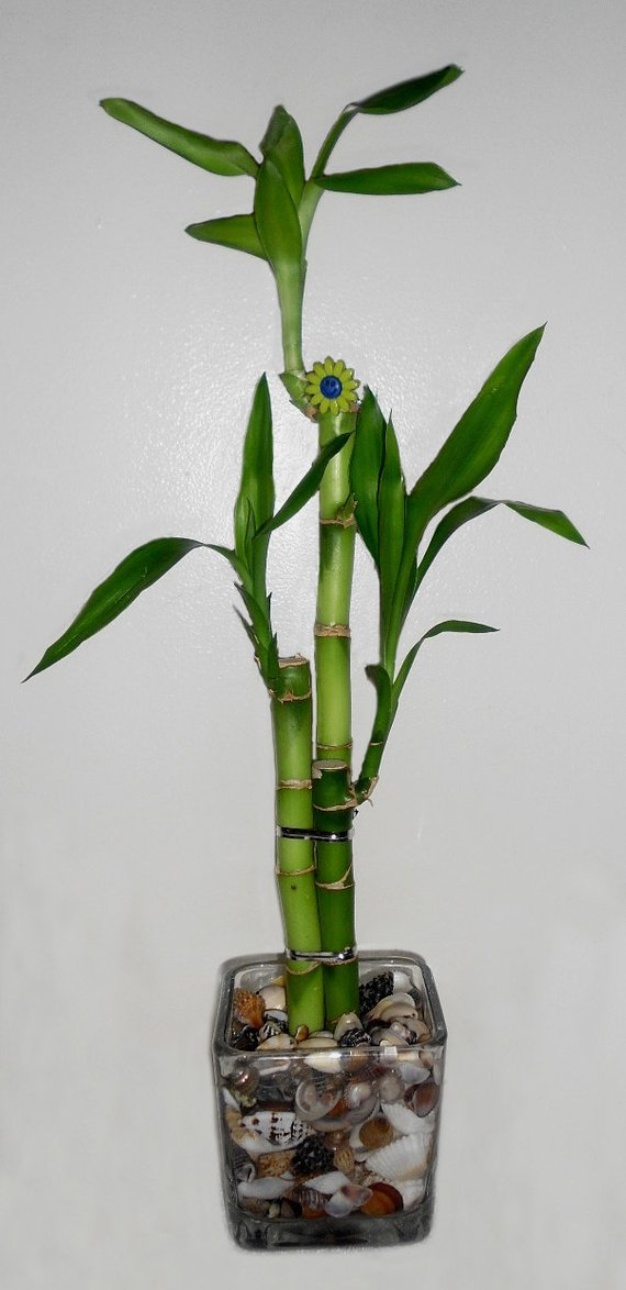 Lucky Bamboo 3 Stalk Arrangement In Glass Vase W Sea Shells