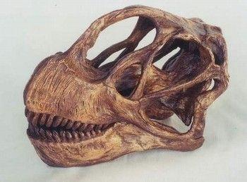 ae6051b48fc6 Camarasaurus Lentis Dinosaur Skull Fossil Replica for sale at  www.SkeletonsAndSkullsSuperstore.com. These skulls and skeletons replicas  are ideal for ...