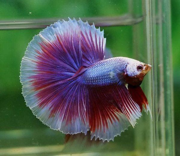 Chinese fighting fish blue purple red white all kinds for What type of water do betta fish need