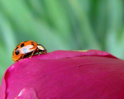 .ladybug